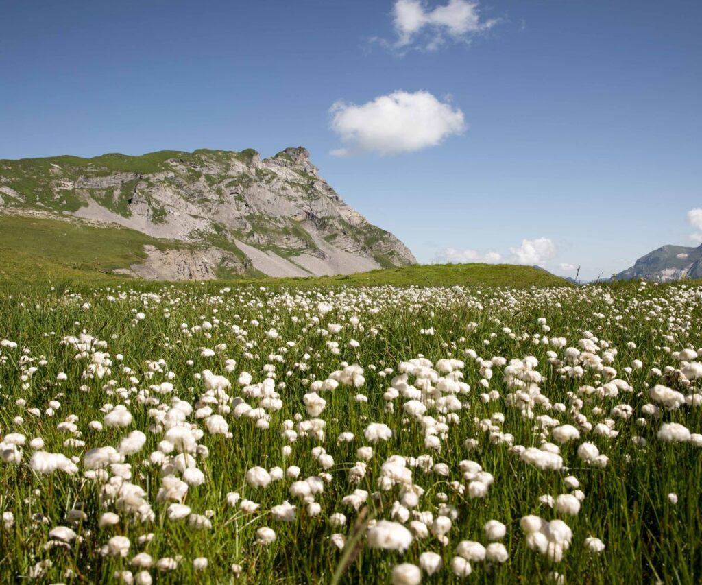 white cotton balls in cotton fields